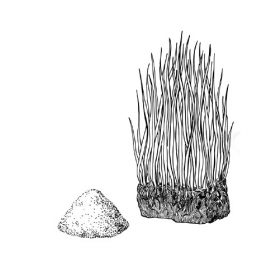 Búzafű, gabonacsíra
